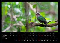 8月の野鳥カレンダー・・・キンバト。 - 季節の野鳥~Wildbirds archives