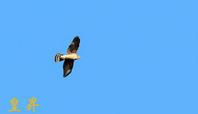久しぶりに猛禽ハイタカを撮る事が出来た、やはり猛禽はいいです。誠 - 皇 昇