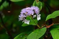タマアジサイ - 野の花山の花ウォッチング in 奥多摩