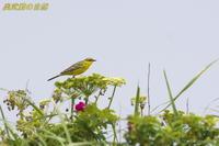 憧れの鳥(2) - 奥武蔵の自然