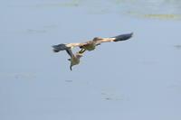 ヨシゴイ2羽で追いかけっこ - 気まぐれ野鳥写真