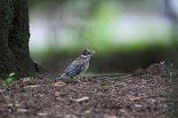 オナガ試練の巣立ち ② ツミの襲撃 - 気まぐれ野鳥写真