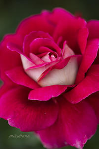 薔薇三番花の別嬪さん*花菜ガーデン - MIRU'S PHOTO