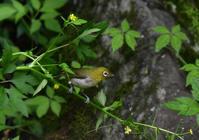メジロイカル - 新 鳥さんと遊ぼう