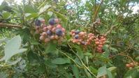 夏の恒例ブルーベリー狩り - おでかけメモランダム☆鹿児島
