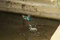 猛暑強風の日のN川カワセミ。 - 小川の野鳥達
