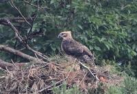 大きくなったクマタカ幼鳥 - 『彩の国ピンボケ野鳥写真館』
