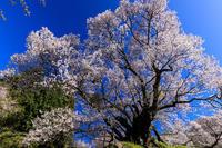 桜咲く奈良2019仏隆寺・千年桜 - 花景色-K.W.C. PhotoBlog