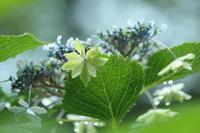 濡れ濡れの紫陽花 - SWAN