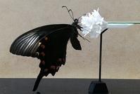 第六作「カラスアゲハ・クマバチ/イボタノキの花」製作記2 - むしジオラマ