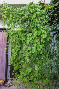 グリーンカーテン - あだっちゃんの花鳥風月