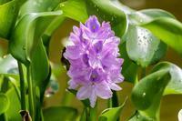 ポンテデリアの花 - あだっちゃんの花鳥風月