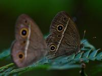 川の蝶 - ブナの写真日記