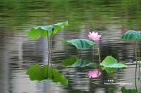 ハスにカワセミ ③ - azure 自然散策 ~自然・季節・野鳥~