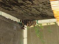 夏眠実験中のヒオドシチョウ - 秩父の蝶