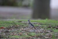 オナガ試練の巣立ち ③ 顛末 - 気まぐれ野鳥写真