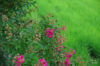 葛城市染野「石光寺」百日紅の咲き始め - ぶらり記録 2:奈良・大阪・・・