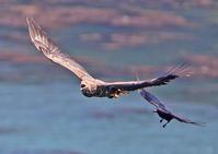 しつこいな~。 - 季節の野鳥~Wildbirds archives