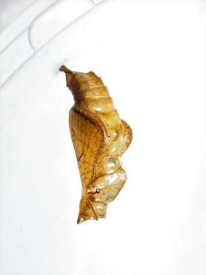 コミスジの蛹 -