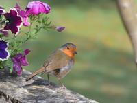 ロンドンのヨーロッパコマドリたち - トドの野鳥日記