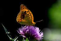 標高1500mの蝶たち #1 - kawanori-photo