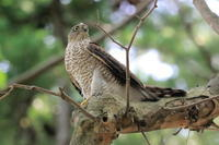 昨日のハイタカ・今日のタンチョウ - 今日の鳥さんⅡ