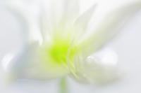 百合の花(その4) - 一人の読者との対話
