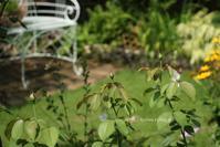 真夏に咲くバラに癒されてシャントロゼミサトetc. - miyorinの秘密のお庭