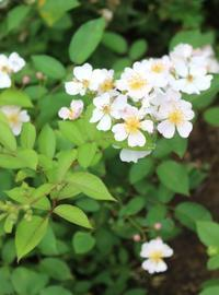 ニューサ2番花&寄り添い咲きの面々 - ペコリの庭 *