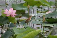 蓮池とヨシゴイその13 - 私の鳥撮り散歩