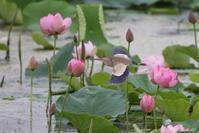 蓮池と田んぼのヨシゴイその14 - 私の鳥撮り散歩