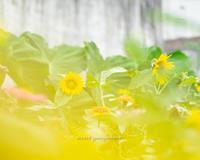 畑の向日葵。 - Yuruyuru Photograph