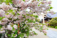 桜咲く京都2019遅咲き桜の咲く西院春日神社 - 花景色-K.W.C. PhotoBlog