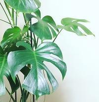 観葉植物を楽しむーモンステラー - 建築つづり