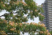 2019年 中島公園の合歓木 - White Love