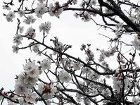 梅の大豊作、梅干しへ - 『文化』を勝手に語る
