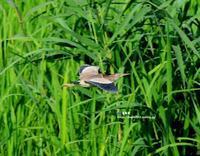 アシ原を飛ぶヨシゴイ - azure 自然散策 ~自然・季節・野鳥~