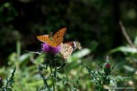 標高1500mの蝶たち #2 - kawanori-photo