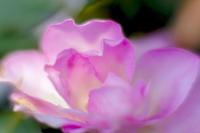 明るい薔薇の花 - 一人の読者との対話
