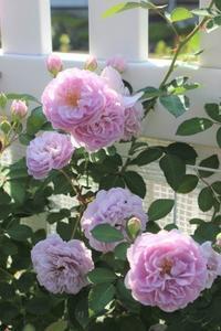 レイニーブルーがっ!&勝ち目のないワタクシ - ペコリの庭 *