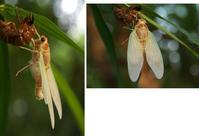 白い蝉の羽 - hibariの巣