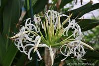 猛暑日に少し涼しそうな花の浜木綿の花(^^♪ - 自然のキャンバス