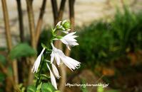 ギボウシ ソースイート - 花と風の薫り