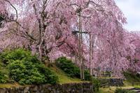 桜咲く京都2019枝垂れ桜の宝泉寺 - 花景色-K.W.C. PhotoBlog