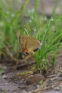 まさに鮮やかな「金」ウラキン♀など - 蝶超天国