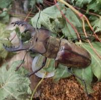 #クワガタムシ『深山鍬形 』s Lucanus maculifemoratus - 自然感察 *nature feeling*