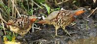 雄の後方から雌が通過、子育てが終わりツガイで餌取散歩でしょうか(・・?。誠 - 皇 昇