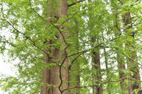 「メタセコイアの森2」 - hal@kyoto