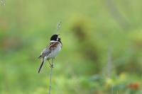 遠吠えをするオオジュリン - 野鳥公園