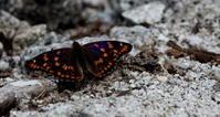 北アルプス遠征その3 - 紀州里山の蝶たち
